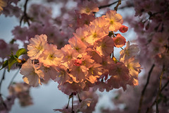 Color in the trees (tquist24) Tags: pink flowers flower tree geotagged evening spring nikon unitedstates blossoms indiana elkhart islandpark nikond5300