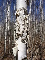 Peeling bark on paper birch near Cloquet, MN (esagor) Tags: trees minnesota forests cfc betulapapyrifera paperbirch nasp localnasp2015