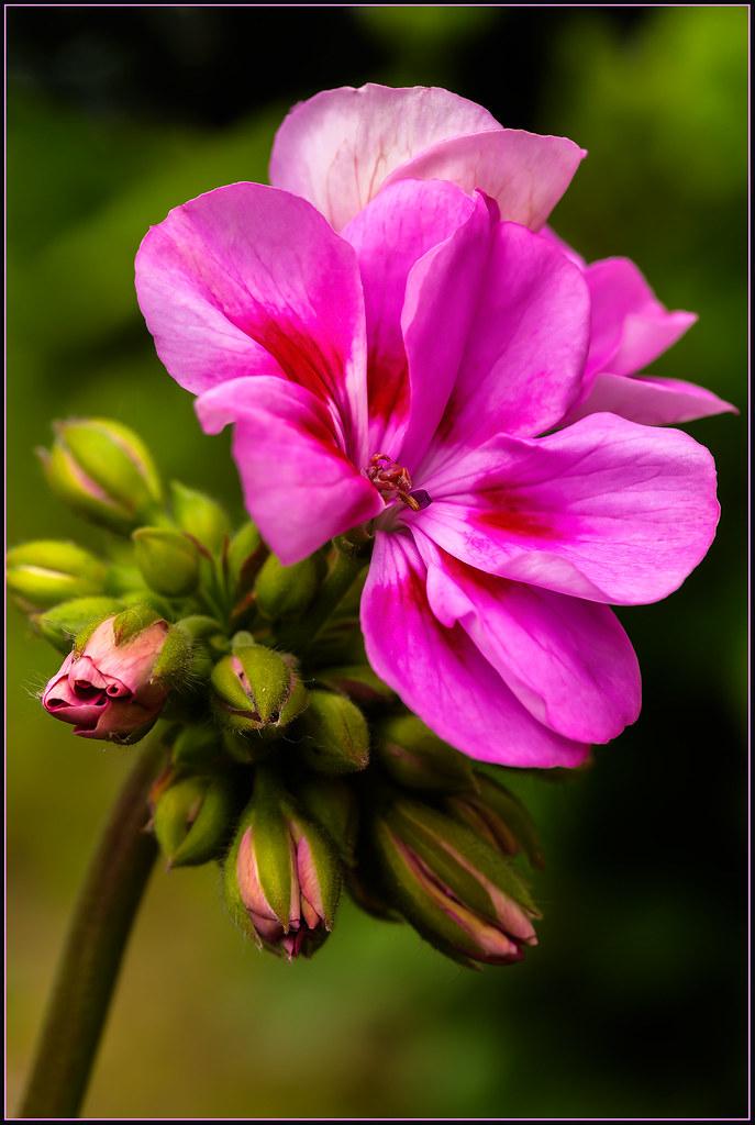 GERANEO (PELARGONIUM ZONAL) (TOYOGRACOR) Tags: Flowers Flores Macro Green  Fleur Landscape