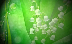 150430 mm 150430  Ththi (thethi (don't like beta groups)) Tags: white texture fleur belgique photoshopped mai travail tradition fte muguet cration festivit setflowers setvosfavorites setnamurcity setfestivities ruby22 ruby20 faves107 bestof2015 albummai