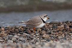 Piping Plover (Jeremy Meyer) Tags: bird piping plover pipingplover shorebird