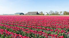 Colorful landscape with red blooming tulips in springtime (RuudMorijn-NL) Tags: flowers blue red summer sky house plant holland green nature netherlands floral dutch field lines bulb farmhouse rural season landscape botanical spring bed stem flora colorful tulips bright blossom outdoor farm vibrant nursery seasonal culture sunny nobody scene rows tulip agriculture lente rood veld bloemen cultivation springtime landschap tulpen blooming rode schuur middelharnis zuidholland goereeoverflakkee tulp kleuren voorjaar woning bollenveld tulpenveld zonnig agrarisch bloembollen kwekerij rijen bloeiende bloeiend bloembol bloembollenveld teelt kleurige kleurrijke vroonweg
