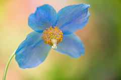 Soul in Bloom (Northern Straits Photo) Tags: flowers canada gardens spring bc britishcolumbia victoria vancouverisland butchartgardens bluepoppy ireenaworthyphotography northernstraitsphotography