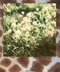 Grunes #  Polaroid_Impossible_Color600_Skins_Edition - SX70 folding ND Filter  - 2015 (irisisopen f/8light) Tags: camera color film analog polaroid sx70 skins 600 land instant edition folding impossible irisisopen