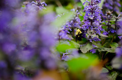 Bee Macro (bobbisharp) Tags: flowers macro nature foliage pollenating beemacro