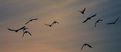 untitled (Lszl_F) Tags: sky birds fly flying nikon free d300 300mmf4 nikkor300mmf4af nikond300