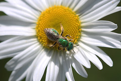 IMG_7109 (Megan Asche) Tags: plant color macro nature animal work canon bug hair insect eyes colorful wasp natural legs megan science petal bee busy stamen worker pollen antenna arthropoda scientist entomology entomologist arthropod beekeeper hymenoptera insecta pollenate pollenator asche hexapoda meganasche