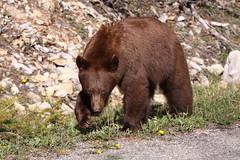 Waterton Bear (Photographer in Alberta) Tags: bear wildlife waterton photographerinalberta joycekinkley
