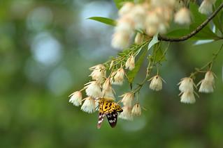 Common Elaeocarpus&butterfly