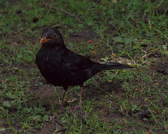 2016_05_0137 (petermit2) Tags: abbey nt yorkshire fountains fountainsabbey nationaltrust blackbird northyorkshire studleyroyal studleypark riponstudleyroyalpark