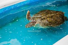 SE_Ubatuba0317 (Visit Brasil) Tags: horizontal brasil fauna ubatuba sopaulo natureza cultura detalhe externa sudeste semgente projetotamar diurna brasil|sudeste brasil|sudeste|sopaulo brasil|sudeste|sopaulo|ubatuba brasil|sudeste|sopaulo|ubatuba|projetotamar