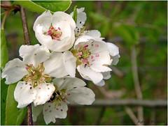 Prunus (Astrid1949) Tags: mei prunus 2016 coth coth5