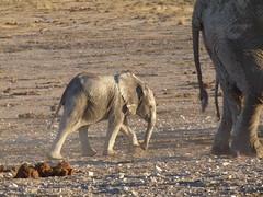 P1050771 (She5152) Tags: etosha namibie etoscha