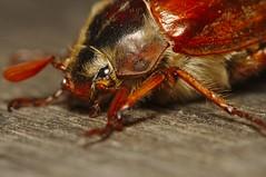 Cockshafer (andabata) Tags: cockshafer meikever maybug doodlebug melolontha scarabaeidae bladsprietkever kever bug tor