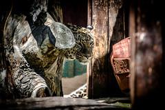Leopardo (Juaberna) Tags: madrid animals zoo leopardo nikon leopard sp felinos tamron d610 anilales 70300vc