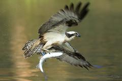 Osprey 2016 (Ross Forsyth - tigerfastimagery) Tags: nature water scotland wings fishing wildlife free diving raptor animalplanet aviemore osprey avian birdofprey pandionhaliaetus bop cairngormnationalpark ospreywithfish lochin gordonmcleod fantasticwildlife gordonshide