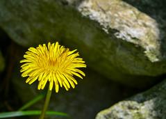 More Dandelion Love (bettyinparis) Tags: detail macro yellow vintage garden lens spring weeds nikon dof lawn dandelion 2880mm albinar d3200