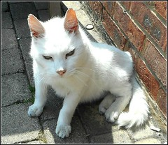 Streetwise Cat .. (** Janets Photos **) Tags: uk streets feline hull whitecats pavements westhull newlandav