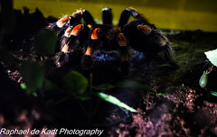 Now THERE is a Spider! Mexican Tarantula! (Raphael de Kadt) Tags: tarantula fearsome pretoria gauteng spider mexican scary