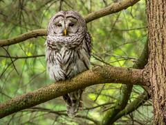 Barred Owl (rdpe50) Tags: trees bird forest branch telephoto vancouverbc barredowl vandeusengardens