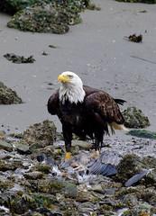 IMGP4726 (annahesser) Tags: blue heron eagle great bald