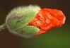 Poppy Bud 030 (saxonfenken) Tags: red flower macro green dof poppy bud 6707 challengeyouwinner pregamewinner 23rdmay2016 6707flowers
