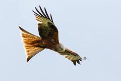 Flick Of The Tail (Unintended_Keith) Tags: nature wildlife tail flick birdofprey redkite birdinflight canon7dmkii maidenerleghnaturereserve sigma150600mms
