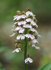 A deep woodland Lady Orchid - Orchis purpurea (favmark1) Tags: kent orchids wildorchids orchispurpurea ladyorchid britishorchids kentorchids