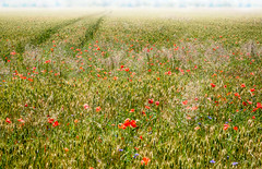 Solstice (ksikappa) Tags: summer france flower field grass landscape outdoor poppy fr ain saintgenispouilly stgenispouilly auvergnerhnealpes