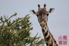 Masai giraffe (Giraffa camelopardalis tippelskirchi) (DragonSpeed) Tags: giraffacamelopardalistippelskirchi serengetinationalpark masaigiraffe seroneraregion tzday05
