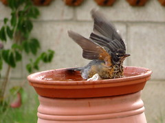 Young Robin Cooling Down (KrisNM) Tags: summer bird robin backyard birdbath speckled