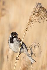 Reed Bunting (ianjoseph273) Tags: reed wildlife warren worcestershire upton bunting