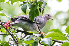 Band-tailed Pigeon (zxorg) Tags: bandtailedpigeon perchingbird bird deerlake burnaby bc