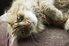 Clem Thursday: Sideways Boy (Photo Amy) Tags: red orange pet cute cat fur ginger furry kitten feline tabby longhair adorable fluffy whiskers precious whisker cuddly cuteness longhaired aminal ef50mm18 eartufts toefur canon50d