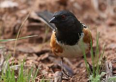 Male Spotted Towhee (rivadock4) Tags: bird garden colorado gardenofthegods springs coloradosprings gods spotted towhee spottedtowhee