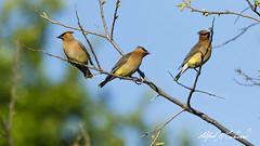 Cedar Waxwing (Alfred J. Lockwood Photography) Tags: morning bird nature keller spring texas wildlife waxwing cedarwaxwing bearcreekpark alfredjlockwood
