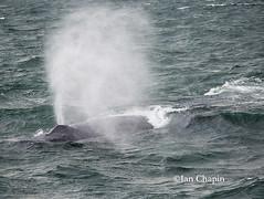 Exhale (Ian Chapin) Tags: humpback whale cetacean exhale blowhole blow atlantic ocean stellwagen bank capecod massachusetts marinemammal ianchapin copyrightianchapin maritime
