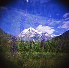 Lupins (pathlost) Tags: flowers canada 120 film holga exposure purple kodak double mount negative scanned robson medium format mx lupins ektar transcanadia