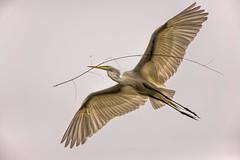 Heron Nation 06.25.2016.05 (nwalthall) Tags: sanantonio egrets
