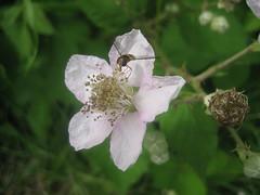 Unterwegs an der Limmat (Priska B.) Tags: wasser pflanzen wiese blumen zrich fluss limmat brombeerblte kanton dietikon