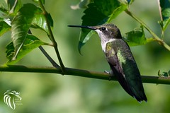 Return of the Ruby-throated Hummingbirds - 2016 - 7 (RGL_Photography) Tags: birds us newjersey hummingbird unitedstates wildlife monmouthcounty jerseyshore ornithology mothernature gardenstate rubythroatedhummingbird archilochuscolubris walltownship wildlifephotography allairestatepark nikond500 allairevillage nikonafs200500mmf56eedvr