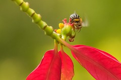 PGC_3134-20151026 (C&P_Pics) Tags: bee durban pgc insectsandspiders gatewaycountrylodge southafrica2015