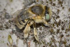 Mining Bee (Kentish Plumber) Tags: insect kent bee ashford greeneyed kwt miningbee kentwildlifetrust hothfieldcommon