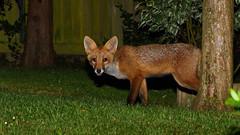 Young Red Fox (tsbl2000) Tags: redfox fox nikond810 nikon70200mmf28ii night flash naturethroughthelens