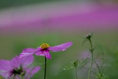 yellow point (Role Bigler) Tags: biei blumenfelder canonef70200lisusm canoneos5dsr flowergarden flowerfields hokkaido japan nippon flora flower jp bokehlicious bokeh fleur fiori blume