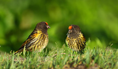 Red-fronted serin (Zahoor-Salmi) Tags: zahoorsalmi salmi wildlife pakistan wwf nature natural canon birds watch animals bbc flickr google discovery chanals tv lens camera 7d mark 2 beutty photo macro action walpapers bhalwal punjab