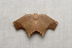 Geometridae sp. - Costa Rica (Nick Dean1) Tags: geometridae lepidoptera moth animalia arthropoda arthropod hexapoda hexapod insect insecta costarica lakearenal