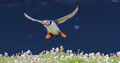 I'm home 86A1490 (richywig - thanks for over 800,000 views) Tags: puffin atlanticpuffin skomer bird landing