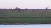 Heckrunderen (mirandal1973) Tags: oostvaardersplassen heckrunderen