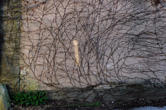 Let it be (michelle@c) Tags: pink light texture rose wall licht wand explore growing letitbe textur waschend michellecourteau